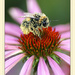 Bee on Echinacea by ivan