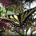 swallowtail..... by mjmaven