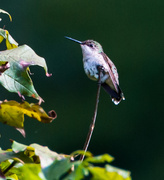 18th Aug 2013 - Hummingbird Resting
