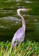 19th Aug 2013 - Blue Heron Fishing
