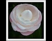 22nd Aug 2013 - Camellia