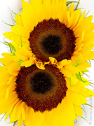 22nd Aug 2013 - Dismal day? Hopefully these will brighten your mood!