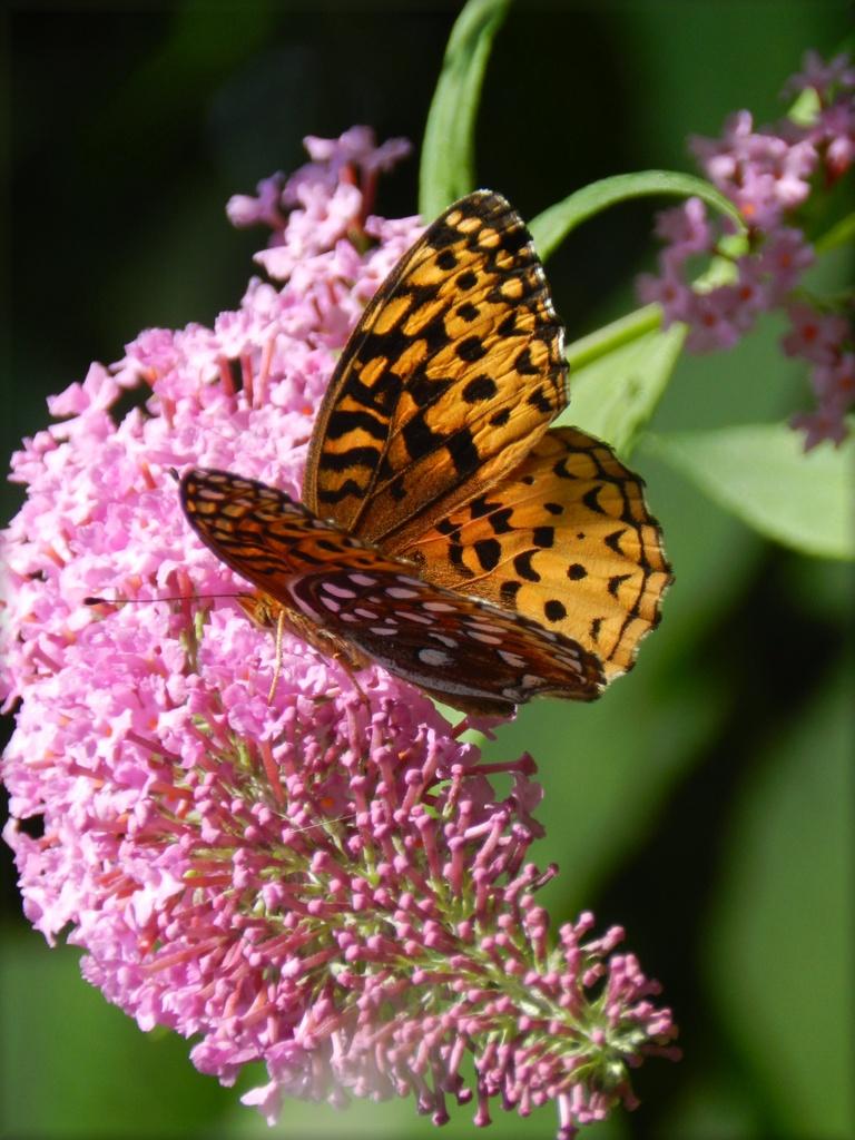 Butterfly On A Butterfly Bush by paintdipper