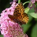 Butterfly On A Butterfly Bush by paintdipper