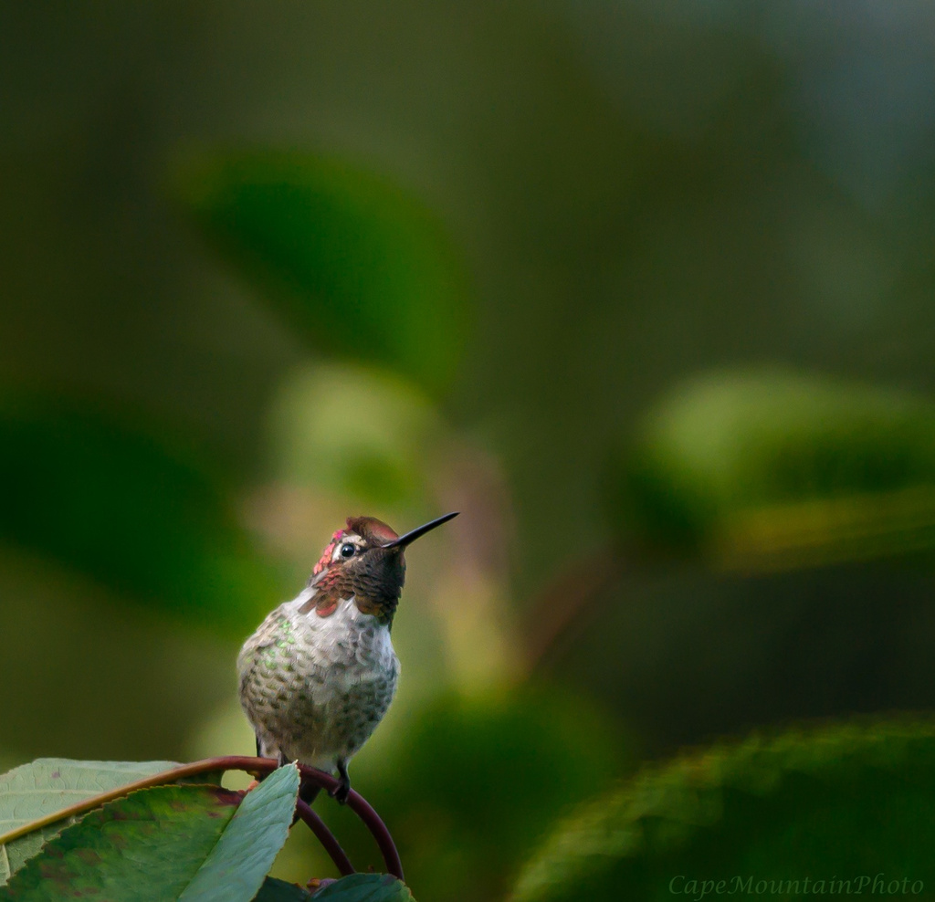 Red Headed Hummer Through My Window by jgpittenger