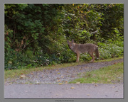 22nd Aug 2013 - Coyote