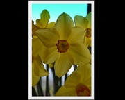 23rd Aug 2013 - Daffidils...