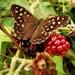 Speckled wood butterfly  - 23-8 by barrowlane