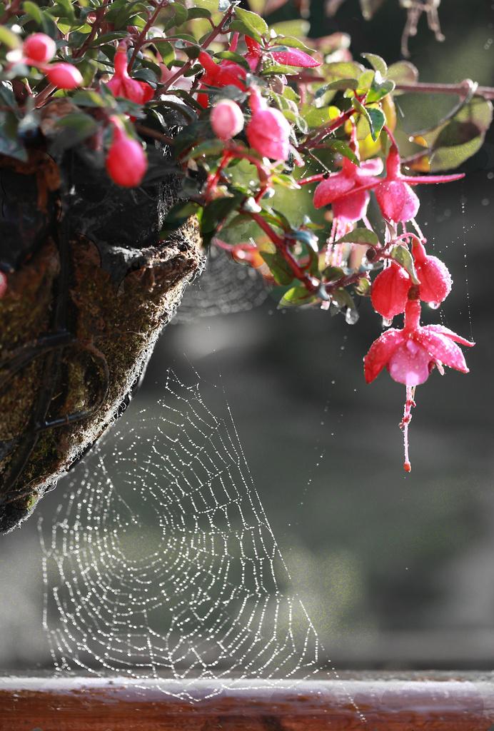 Fushcia On The Web! by shepherdmanswife