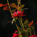 Roses Before Dusk by milaniet