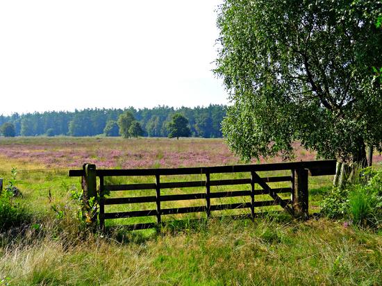 landscape with heather by gijsje