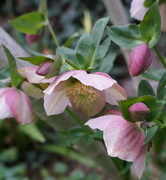 25th Aug 2013 - More Flowers - Hellebores, Best ever.