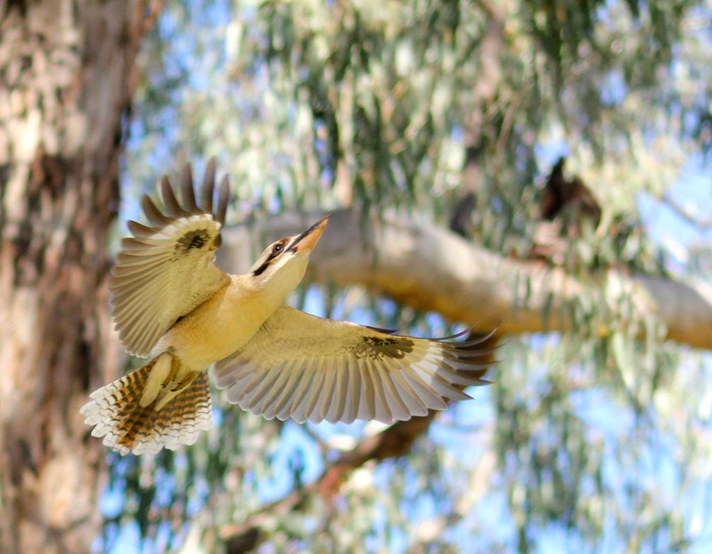 Kookaburra in Flight by landownunder