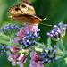 Buckeye Butterfly by genealogygenie