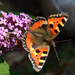 Tortoiseshell butterfly by richardcreese