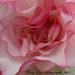 Frilled Begonia by tonygig