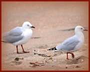 28th Aug 2013 - Couple of seagull's.. or a seagull couple..??