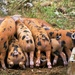 yum yum piggies' bums by jantan