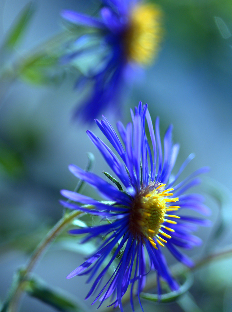 Asters by jayberg