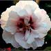 Hibiscus by tonygig