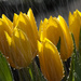 31st August 2013 Tulips in the rain by pamknowler