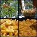Mirabelle plums by parisouailleurs