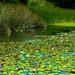 Lily Pond by nanderson