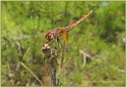 2nd Sep 2013 - Dragonfly