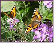 3rd Sep 2013 - Small Tortoiseshell Butterflies