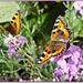 Small Tortoiseshell Butterflies by carolmw