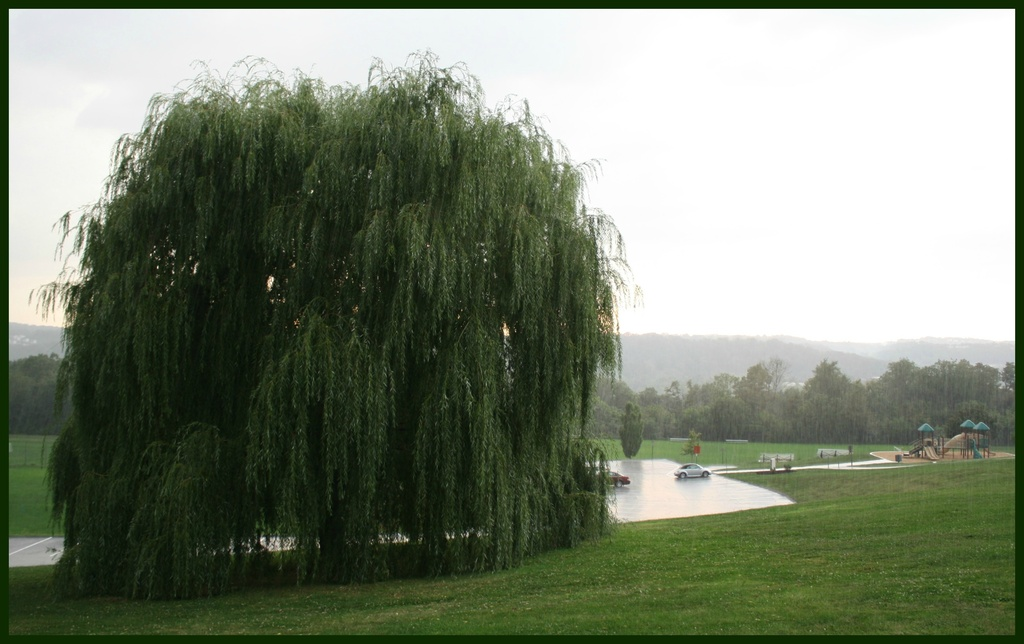 Weeping willow in the rain by mittens