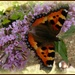 small tortoiseshell butterfly on buddleia by quietpurplehaze
