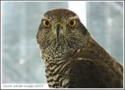 4th Sep 2013 - Goshawk