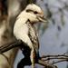 Kookaburra by rustymonkey