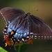 Black and Blue Butterfly  by grannysue