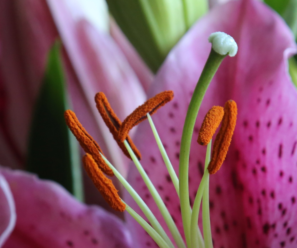 Lilly stamens by padlock