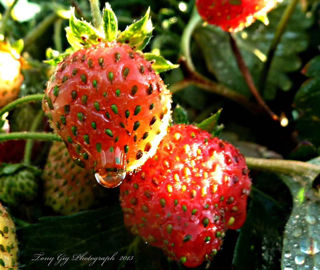 Strawberries  by tonygig