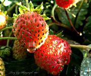 7th Sep 2013 - Strawberries