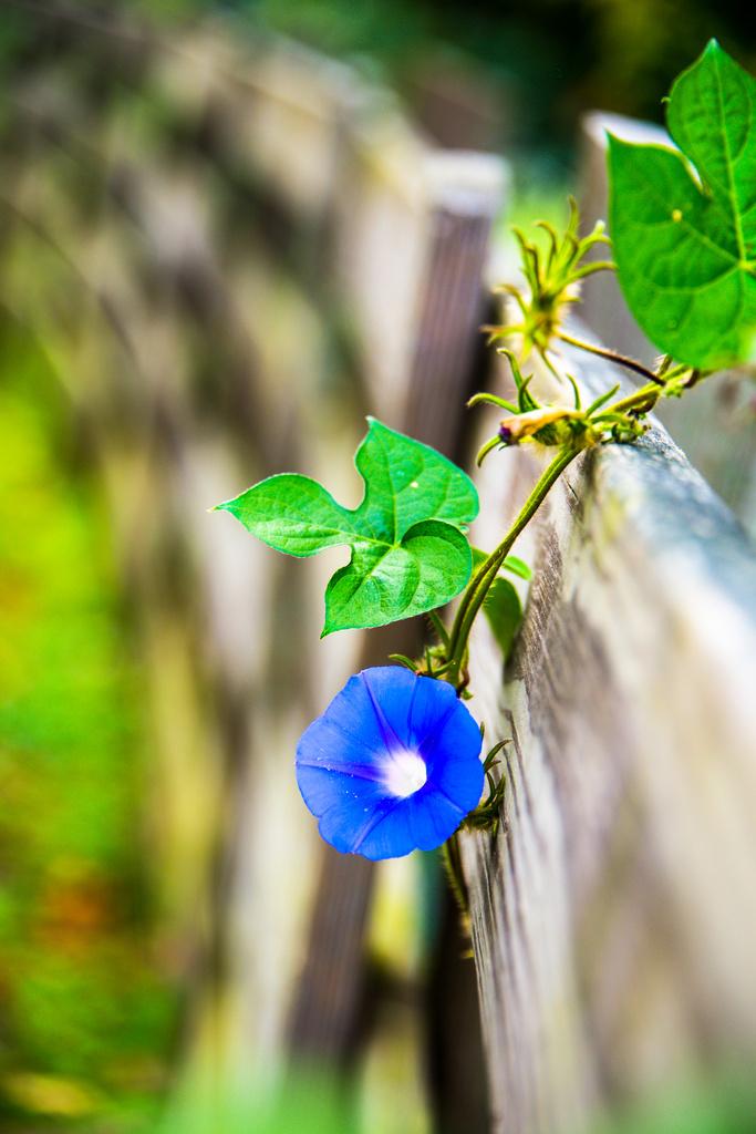 Morning Glory Flower by kathyladley
