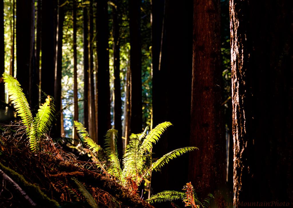 Sunlight Falling In Cedars by jgpittenger