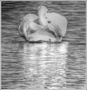 9th Sep 2013 - Swan In Monochrome