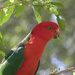 King parrot by onewing