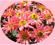 11th Sep 2013 - Miniature Chrysanthemums