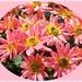 Miniature Chrysanthemums by carolmw