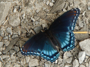 """8th Sep 2013 - """"Red-spotted Purple"""""""