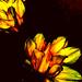 Fire Flowers by amrita21