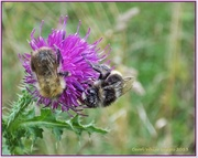 13th Sep 2013 - Bees And Thistle (Best viewed large)