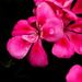 Pink flower with drops by elisasaeter