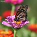 A Monarch at Last by falcon11