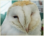14th Sep 2013 - Sleepy Barn Owl